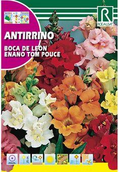 Egynyári virágok : Oroszlánszáj alacsony Tom Pouce Toms, Female Dwarf