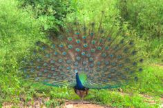 Dancing Peacock  #nature #photography #india #wildlife #travel