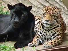 🐆🐆🐆🐆🐆🐆🐆🐆🐆I want! Small Wild Cats, Big Cats, Cute Cats, Jaguar, Geometric Tiger, Wild Cat Species, Animals And Pets, Cute Animals, Exotic Cats