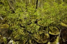 Man Sues Sheriff for Destroyed Marijuana Plants After He is Acquitted
