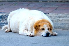 La obesidad es un problema importante en los perros y puede tener consecuencias a largo plazo en la salud de las mascotas. Las mascotas obesas son más propensas a padecer condiciones como artritis, dificultades respiratorias, problemas cardíacos y diabetes. Desafortunadamente,