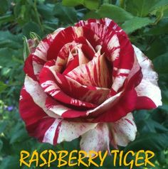 Brindabella Rose Raspberry Tiger™ has strong raspberry red blooms with stripes and splashes of cream. This fantastic rose loves the heat and the the Exotic Flowers, White Flowers, Red Roses, Alice In Wonderland Paintings, Floribunda Roses, Sweet White Wine, Garden Express, Holly Madison, Flower Images
