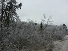 Trees bent over from the ice