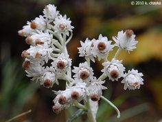 Photos and information about Minnesota flora - Pearly Everlasting: numerous small flat clusters of ¼ to white globular flowers with a yellow to brown center Minnesota Wild, Growing Flowers, Wildflowers, Pear, Dandelion, Flora, Garden, Plants, Garten