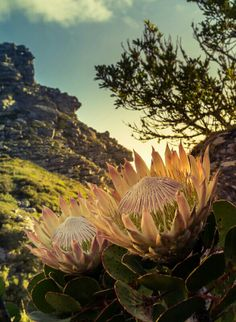 Lighting and composition in this photo - awesome! Overseers - Table Mountain, South Africa by Stefan Olivier, via Behance Beautiful World, Beautiful Places, Protea Flower, Protea Plant, Namibia, Table Mountain, Destinations, Out Of Africa, All Nature