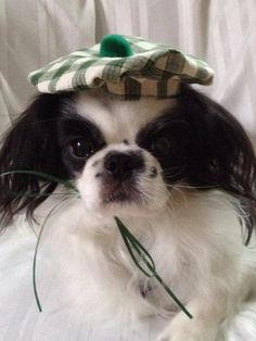 Irish Dog Hat Plaid Scottish Tam small pets by Doginafez on Etsy