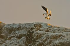 Nazca Booby In Flight Galapagos Islands