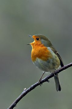 Singing a happy song Singing a happy song by a Robin bird chirping singing. by John MacTavish Beautiful birds abound on our earth for everyone to enjoy and care for. Cute Birds, Pretty Birds, Small Birds, Colorful Birds, Little Birds, Beautiful Birds, Animals Beautiful, Cute Animals, Tropical Birds