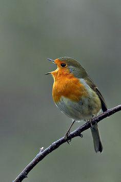Tuttu lintu voimapuutarhassakin. Linnut ja lintujen laulu. Linnun voi nähdä Runotalon ikkunasta.