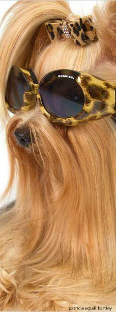 6 Things You Need to Know Before You Get a Yorkie | The Yorkie Times