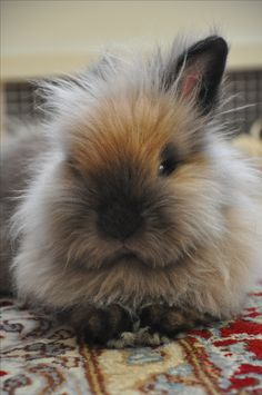 Lionhead rabbit - relaxing my Que