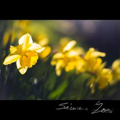 Daffodils yellow flower http://www.istockphoto.com/it/en/photo/daffodils-yellow-flower-gm652203806-118598191 #Blooming #Blossom #Bright #Bunch   #Close-up #CutOut #Daffodil #Flower #Flower #Freshness #Green #Growth #Horizontal #Italy #Lily #Narcissus #Nature #NoPeople #Petal #Photography #Plant #Scented #Season #Single #Single #Springtime #Symbol #Vertical #Vibrant  #WaterLily #Yellow