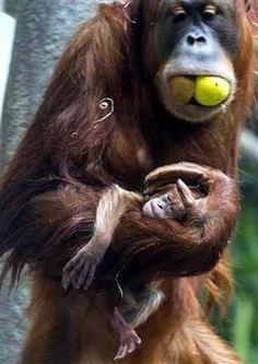 Naissance d'un bébé orang-outan au zoo de Bâle - L'Alsace