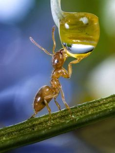 ant drinking from a droplet