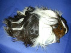 Silkie Guinea Pig   Silkie Guinea Pig withcharacteristic long hair