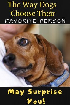 You would think that a dog's favorite person would be whoever gives them the most food and attention, right? Does your dog have a favorite person? This is How Dogs Choose Their Favorite Person Dog Care Tips, Pet Care, Schwarzer Labrador Retriever, Tibet Terrier, Cairn Terrier, Terrier Mix, Pet Dogs, Dogs And Puppies, Doggies