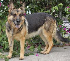 Jolie von Juterbog is an adorable 4 year old German Shepherd.  Westside German Shepherd Rescue of Los Angeles