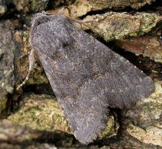 The Moths of Suffolk - 2231 Deep-brown Dart, Aporophyla lutulenta, (Denis & Schiffermüller, Deep Brown, Tapestries, Moth, British, Butterflies, Insects, Hanging Tapestry, Tapestry, Wallpapers