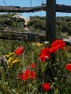 Beautiful poppies by the sand dunes at Camber Sands, East Sussex, England by B Lowe