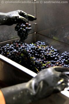what a wonderful grapes #harvest in #Liguria #riviera