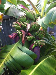 Musa double mahoi - Bananas.org