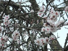 Almond tree blossom in the Algarve, Portugal