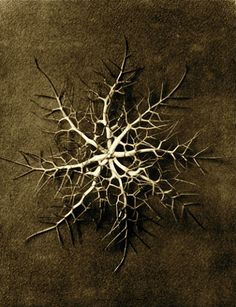 Karl Blossfeldt - Nigella damascena, Love-in-a-mist. From the book - Urformen der Kunst Karl Blossfeldt, Still Life Photography, White Photography, Natural Form Art, Natural Life, Natural Texture, Late Middle Ages, Parts Of A Plant, Seed Pods