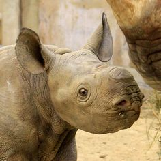 Cleveland Rhino Mom Delivers 100 Pounds of Joy - ZooBorns