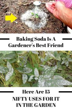 There are so many great uses for baking soda in the garden! These gardening hacks are perfect for any gardener - beginner or advanced! these baking soda tips for gardening and bring your DIY garden to the next level! Veg Garden, Garden Pests, Lawn And Garden, Vegetable Gardening, Flower Gardening, Veggie Gardens, Garden Tools, Fence Garden, Garden Guide