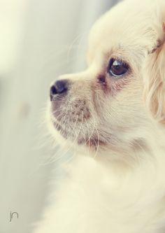 Tibetansk Spaniel, animal photography. #doglife
