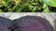 Kaempferia Garden Plants