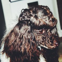 《chocolate face poodle》& braided poodle hair... #huxtablethepoodle