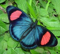Batesia hypochlora. Batesia is a genus of butterfly of the Nymphalidae family containing only one species, the Painted Beauty. It is found in the upper Amazon areas of Brazil, Ecuador and Peru. The wingspan is 85-95 mm. Wikipedia