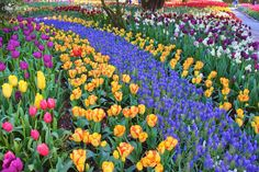 Randall St. Germain picture. Loved this floral path with tulips and muscari at beautiful RoozenGaarde Gardens... Last week at the Skagit Valley Tulip Festival, Washington State.