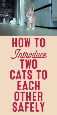 Cat Care Keeping Your Cat Healthy - Cat's Nine Lives Baby Cats, Cats And Kittens, Cats Meowing, Ragdoll Kittens, Bengal Cats, White Kittens, How To Introduce Cats, Cute Cats, Funny Cats