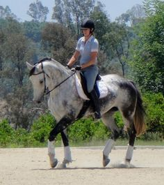 Viva - Grey Holsteiner Mare - CA-from Wiki- originated in Schleswig Holstein of N. Germany, oldest warmblood breed, athletic, riding horse, good balance, elegant movement, cantor is light, soft, balanced, dynamic. strongest asset is Jumping, power and scope, used for show jumping, show hunters, hunt seat, dressage, eventing, colors, black, dark bay, brown, some chestnut and gray.