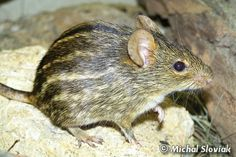 Typical striped grass mouse, Lemniscomys striatus