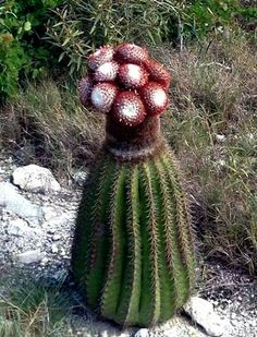 Melocactus broadwayi. Native to the West Indies. (Cactus)