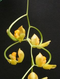 Orchid: Gongora galeata