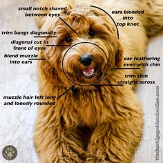 Arguably, the most important part of a doodle grooming cut is the face clip. When your furbaby looks you in the eyes begging… Arguably, the most important part of a doodle grooming cut is the face clip. Whe… Source by bellyojelly Teddy Bear Goldendoodle, Goldendoodle Haircuts, Dog Haircuts, Havanese Dogs, Goldendoodles, Labradoodles, English Goldendoodle, Teddy Bear Dogs, Teddy Bears
