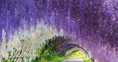 Wisteria-Flower-Tunnel-Japan