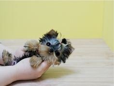 Micro teacup Yorkie  I want this cutie...........