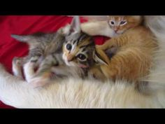 Two Tiny Kittens Cuddling In Big Dog's Belly Fur and Play Fighting - 5 Weeks Old - YouTube