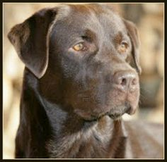 Chocolate Lab - Pack leader dog training