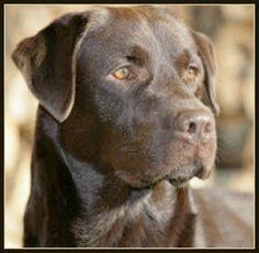 Chocolate Lab - Pack leader dog training