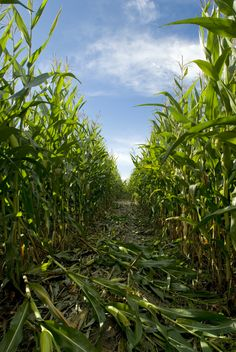 Get lost in a corn maze - DONE sept 2014 Country Farm, Country Life, Crop Field, Planting Onions, Editing Background, Down On The Farm, Farm Life, Amazing Nature, Backgrounds