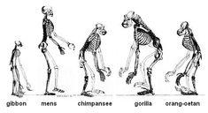 Afbeeldingsresultaat voor evolutie van de mens