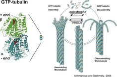 Laboratory of Microtubule Dynamics Structure and Mechanism