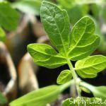 Where to Buy Heirloom Seedlings if You