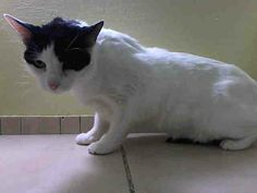 TO BE DESTROYED 4/8/14 ** What a great cat!! Previous owner says 'Loves to play  Enjoys Petting  Uses a scratch post & would be good in a family w/ children'* Manhattan Center  My name is COOKIE. My Animal ID # is A0994994. I am a spayed female white and black domestic sh mix. The shelter thinks I am about 6 YEARS old.  I came in the shelter as a STRAY on 03/27/2014 from NY 10009, owner surrender reason stated was MOVE2PRIVA